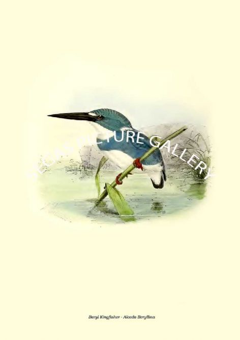 Fine art print of the Beryl Kingfisher - Alcedo Beryllina by  the artist Johannes Gerardus Keulemans (1868-1871)